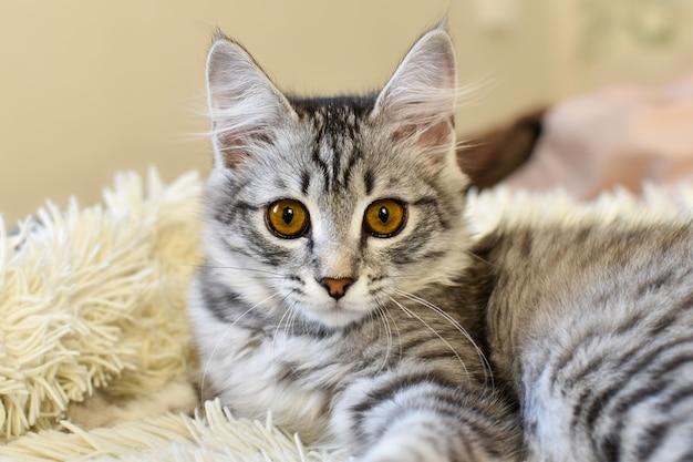 Le chaton mignon se trouve sur le lit au soleil. portrait de beau chat rayé gris sur la couverture de fourrure blanche