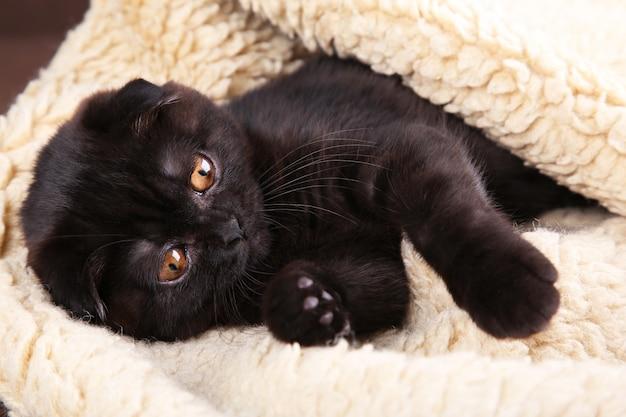 Chaton noir british shorthair