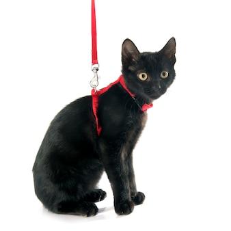 Chaton noir et harnais