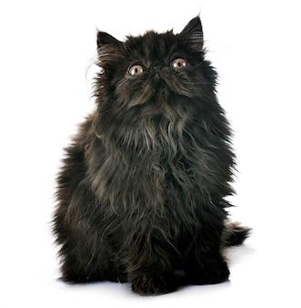 Chaton noir persan