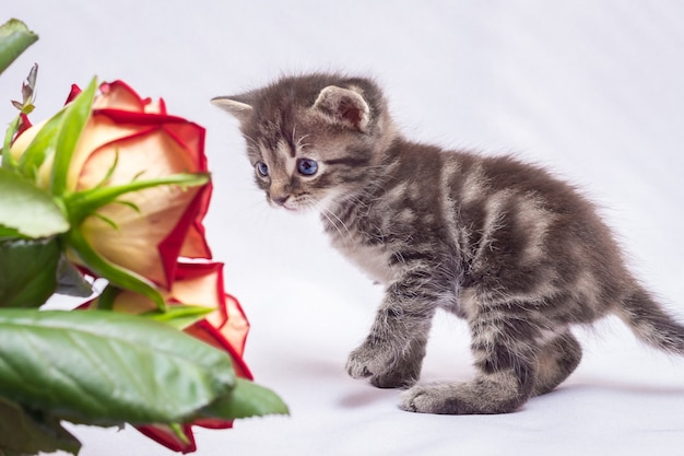 Chaton regarde de près le bouquet de roses rouges