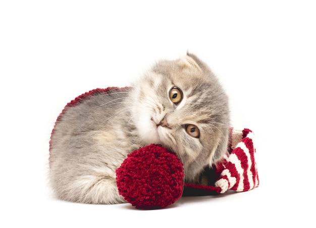Chaton scottish fold dans un chapeau tricoté rouge et blanc