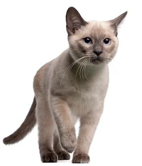 Chaton thaï, 4 mois. portrait de chat isolé