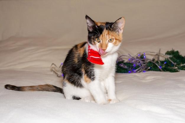 Chaton tricolore avec un foulard de noël