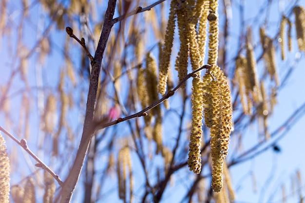 Les chatons de bouleau sur la branche ferment le printemps. bourgeons de bouleau sur fond de ciel