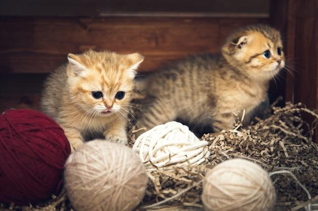 Les chatons british shorthair jouent avec des pelotes de fil dans une boîte en bois. style rustique.