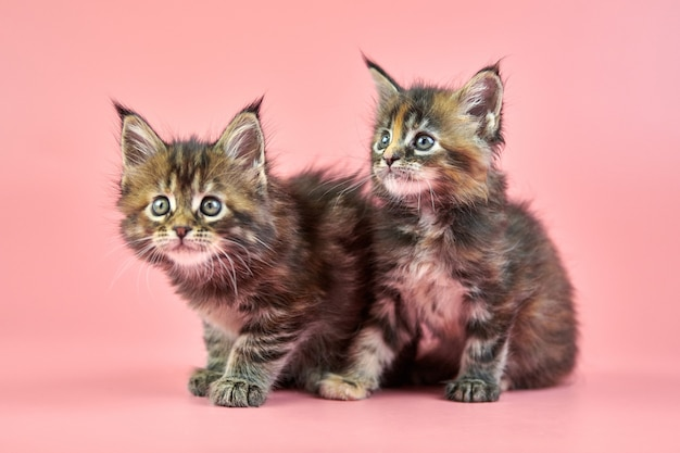 Chatons écaille de tortue maine coon. chat mignon de race à poil court sur fond rose. tortie manteau couleur attrayants chatons de la nouvelle portée.