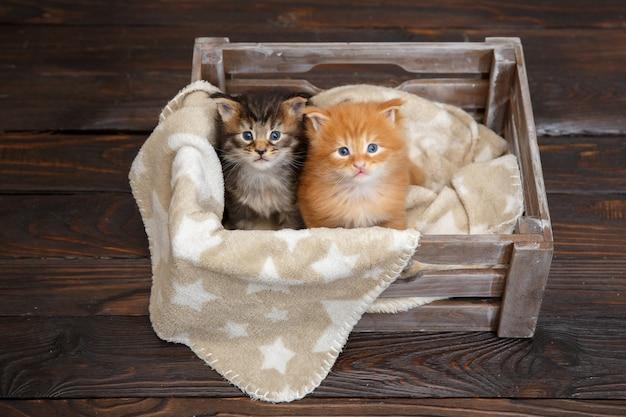 Chatons maine coon couché dans une boîte en bois