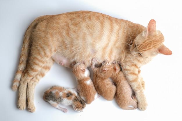 Les chatons nouveau-nés boivent le lait de leur mère sur fond blanc