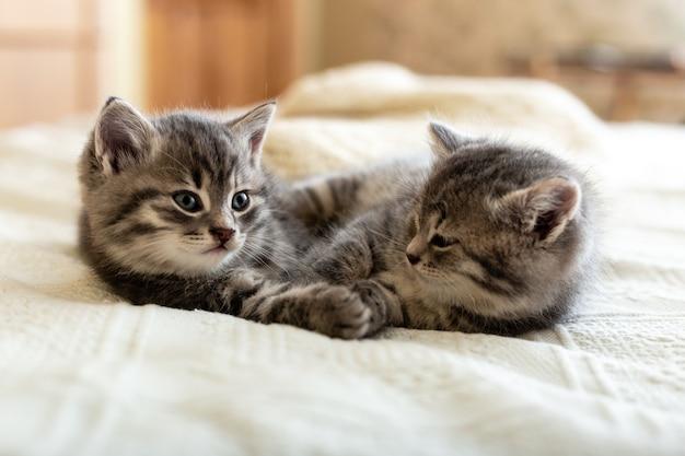 Chatons tigrés mignons allongés sur le lit sur un plaid blanc