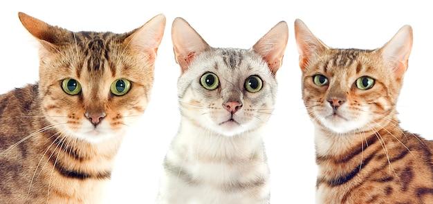 Chats du bengale isolés sur blanc