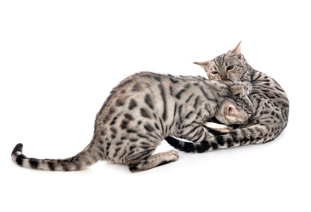 Chats du bengale isolés