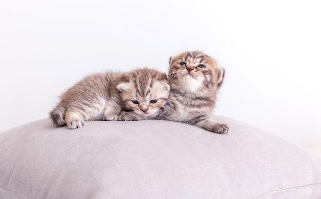 Chats kitty sur l'oreiller.