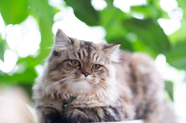 Chats persans, chat persan gris-brun dans le jardin.