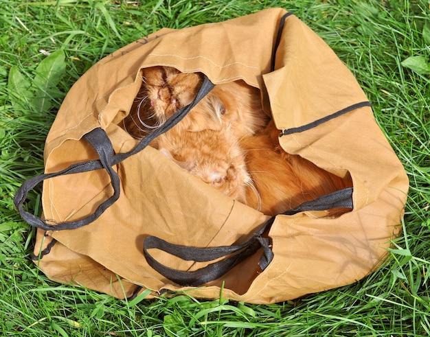 Chats persans drôles rouges similaires dans un sac à l'extérieur sur l'herbe verte