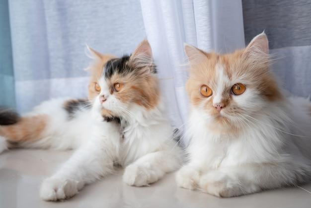 Chats persans mignons allongés sur le sol