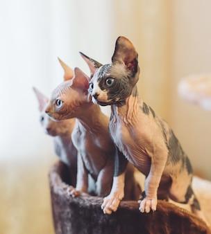 Chats sphinx sans poils.