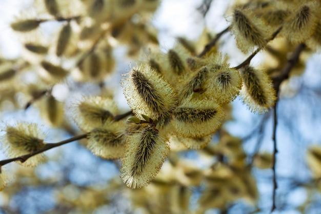 Chatte saule branches au printemps