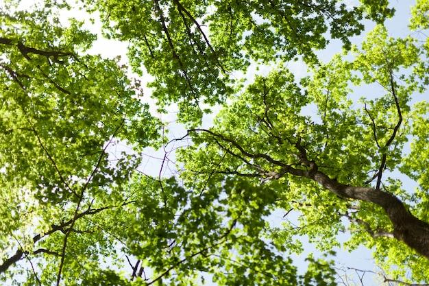 Le chaud soleil printanier qui brille à travers la canopée de grands hêtres