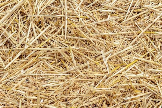 Chaume de grain, paille sur le terrain après la récolte