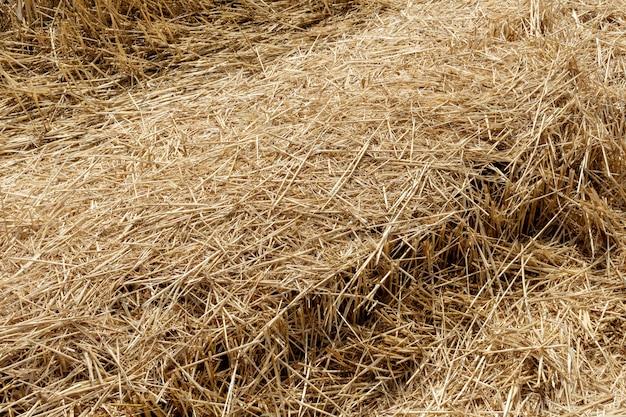 Chaume de paille de céréales, blé, maïs, céréales sur le terrain après la récolte agrandi agriculture agriculture économie rurale agronomie