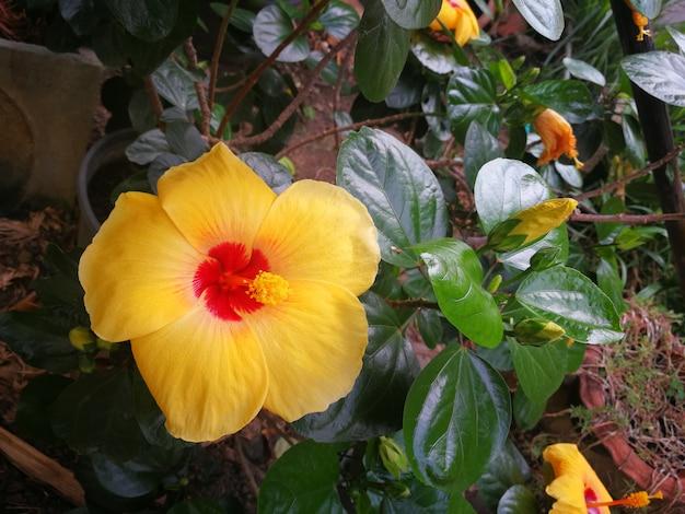 Chaussure fleur, hibiscus, rose de chine ou rose de papier