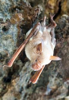 Chauve-souris vampire dort dans la grotte suspendue au plafond