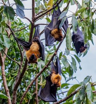 Les chauves-souris se reposent sur un arbre