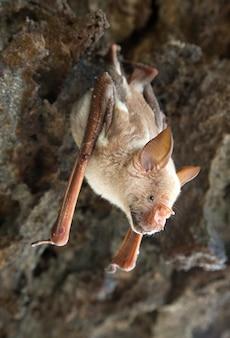 Les chauves-souris vampires dorment dans la grotte suspendue au plafond