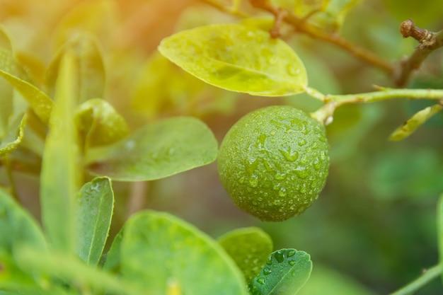 Chaux vert immature pendu à un tilleul