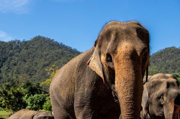 Chef de la famille des éléphants