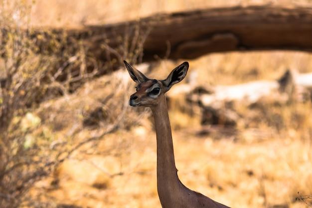 Chef de gérenuk. gazelle près d'un arbre. samburu, kenya.