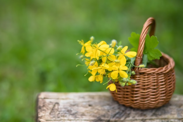 Chelidonium majus, plus grande chélidoine, nipplewort, swallowwort ou tetterwort fleurs jaunes dans le panier en osier