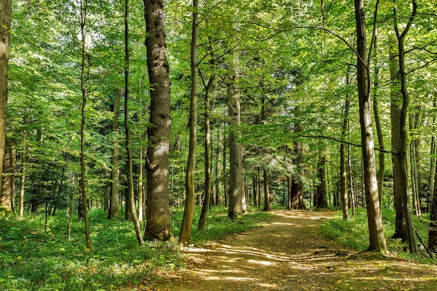 Chemin chemin façon voie ensoleillée en été forêt ensoleillée au coucher ou au lever du soleil.