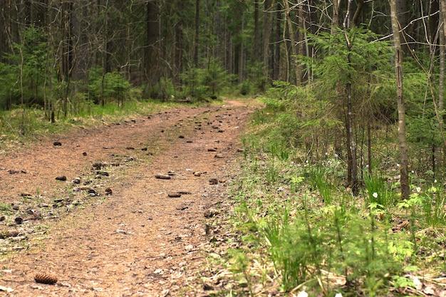 Le chemin dans la forêt d'épinettes, recouvert de cônes d'épinette, va au loin.