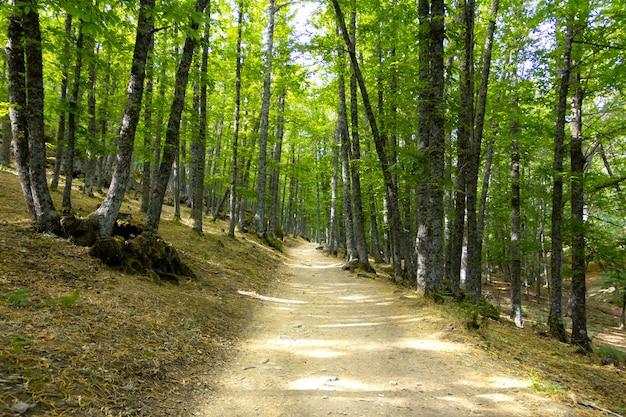 Chemin dans une verte forêt de châtaigniers.