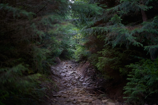 Chemin effrayant mystique à travers la forêt sombre effrayante avec une lumière vive à la fin forêt de pins mystérieux mise au point sélective