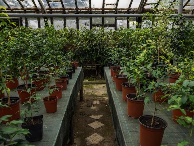 Chemin entre les rangs dans la serre. plantes d'intérieur sur des tables en pots