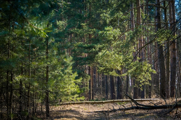 Chemin envahi dans la forêt de pins