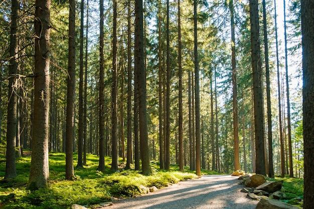 Chemin forestier d'automne au coucher du soleil sentier de randonnée forestier avec de hauts pins à la lumière du soleil