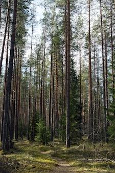 Un chemin menant à travers une forêt de pins aux troncs droits jusqu'à un petit sapin de noël.