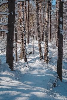 Chemin de promenade couvert de neige à travers la forêt de bouleaux. paysage au début du printemps.