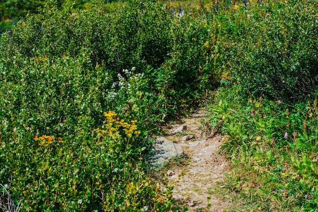Chemin à travers les buissons gros plan. sentier parmi la végétation sauvage des hautes terres avec copie espace.