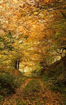 Chemin à travers la forêt de hêtres automnale.
