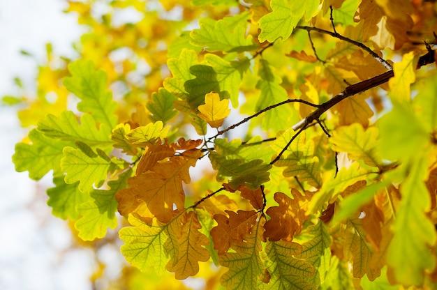 Chêne automne feuilles colorées chaudes automne coucher de soleil arbre floue.