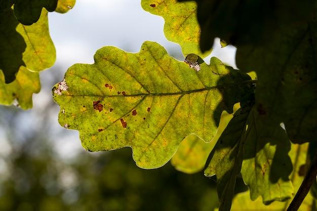 Chêne à l'automne