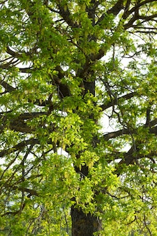 Chêne avec des branches fleuries au printemps