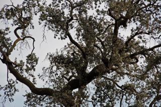 Chêne géant