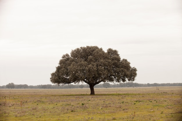 Chêne holms, ilex dans une forêt méditerranéenne.