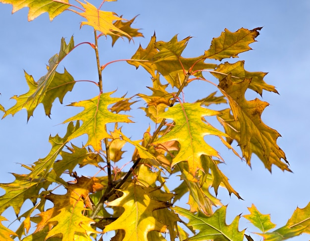 Un chêne qui change de couleur en arbres rouillés pendant la saison d'automne, gros plan d'un seul chêne avec un feuillage rouge et jaune, et ayant également des nuances jaunes
